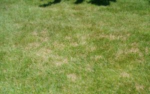 brown patches in middle tennessee lawn