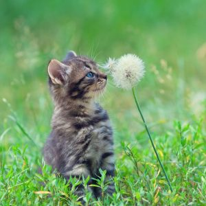 Kitten rubbing dandelion with nose on lawn