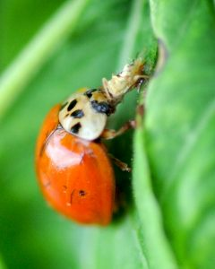 How Can I Get Ladybugs Out Of My House