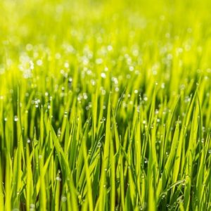 control the Weeds in Your Lawn