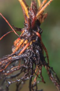 Root Rot