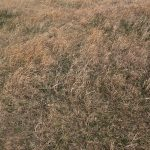 common reason why your grass will turn brown